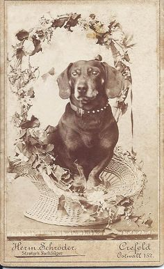 """c.1890s cdv of adorable dachshund sitting in a basket festooned with flowers. Photo by Schroder of Crefeld, Ostwall 152, Germany. Handwritten on back (in German) I can only read the name """"Jack."""" From bendale collection"""
