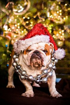 Looks like someone could use a cookie :) #Christmas #bulldog #dogs #cute
