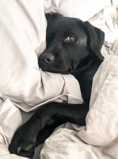Things that make you go AWW! Like puppies, bunnies, babies, and so on. A place for really cute pictures and videos! Black Lab Puppies, Cute Dogs And Puppies, I Love Dogs, Doggies, Cute Baby Animals, Animals And Pets, Funny Animals, Sleepy Animals, Husky Corgi