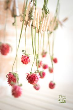 Rush hour globe amaranth hanging to dry Dried Flowers, Pretty Flowers, Amaranth Flower, Globe Amaranth, Flower Farm, Drying Herbs, Deco, Watercolor Flowers, Flower Power
