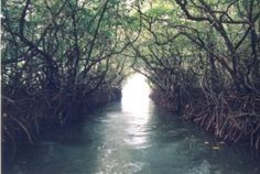 """Baratang Island, India. Beautiful trees branching over a waterway. Maybe not """"woodland,"""" but, there are trees and water involved."""