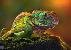 a lizard of many colors