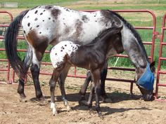 """Appaloosa mare and foal- mare has """"varnish marks"""", a roan patttern, and baby is a spotted blanket~~"""