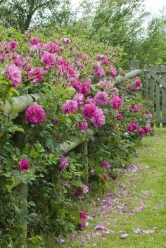 Wild Edric Hedging Roses ..