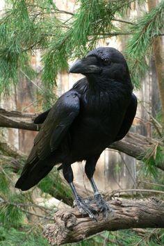 Corvid | Crow | Raven | La Corneille | Il Corvo | 烏 | El Cuervo | ворона | 乌鸦 | Common raven - Corvus corax