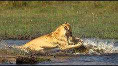 Lion Vs Crocodile - Lion Vs Crocodile Real Fight 2014