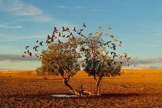 """""""The Dreaming Tree"""" - Strzelecki Desert, Australia - Photo by Christian Spencer"""
