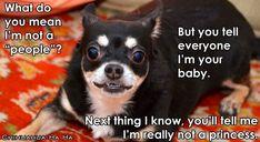 Shocked dog via Chihuahua Ha Ha on Facebook at www.Facebook.com/ChihuahuaHaHa
