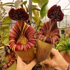 Another favorite from Exotica Nepenthes [(lowii x veitchii) x boschiana] x [(veitchii x maxima) x veitchii] It definitely needs a new name… Carnivorous Plants, Small Plants, Fruit, The Fruit
