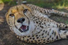 The Cheetah at Kwa Cheetah outside Ladysmith in South Africa Cheetah, South Africa, The Outsiders, Animals, Animales, Animaux, Cheetahs, Animais, Animal