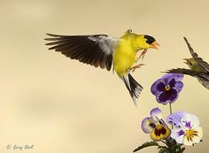 American Goldfinch - Incredible images of birds in flight, captured with a special camera set-up.  Amazing movements of birds Gerry Sibell has been able to immobilize