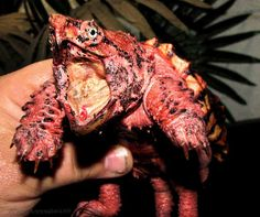 A rare hypomelanistic Alligator Snapping Turtles