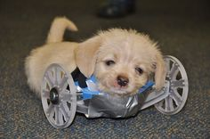 Tiny Two-Legged Puppy Gets a Wheelchair and a Fighting Chance at Life (PHOTOS)