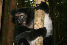 Indri are the largest lemurs (7-8 kg). These wonderful animals are considered 'ancestors' in Malagasy lore and are loved and respected. We are capturing, radiocollaring, evaluating, and relocating indri, among other species.