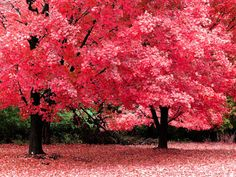 Trees, autumn, fall, pink, photography, nature, wallpaper