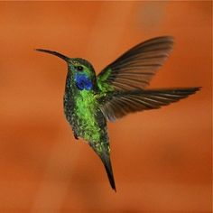 Image detail for -They can hover in mid-air by flapping their wings 12 to 90 times per second and they are the only bird capable of flying backwards. Hummingbirds weigh less than a ...