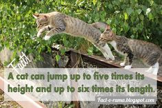 Cat Facts - 10 Amazing facts about cats - Fact-o-Rama Baby Kittens, Cats And Kittens, Agility Parcour, Jumping Cat, Small Wild Cats, Cat Ages, Types Of Cats, Owning A Cat, Kitty Cats