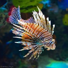 Lion fish, as beautiful as these May be they are destroying sea life across the world! These little devils eat juvenile fish and are killing off local fish populations. Is you're in an affected area report any sightings to local dive or wildlife centre #saveouroceans beautiful photography by Bruce Bugbee ~❥