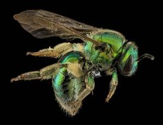 The Buzz On Sam Droege's Macro Bee Photography