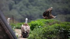 Gay vultures' chick from Amsterdam Royal Zoo released Latest News