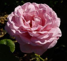 Frederic Mistral rose   Rosa 'Frederic Mistral ®'