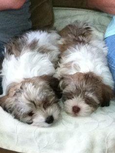 Havanese Breeders, Havanese Puppies For Sale, Havanese Dogs, Bichons, Westies, Shih Tzu, Terriers, Woody, Doggies