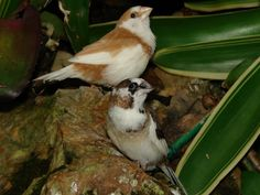 Society (or Bengalese) Finches (Lonchura striata). Florida Museum of Natural History photo by Ryan Fessenden