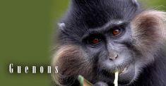 Guenons – parrots among primates