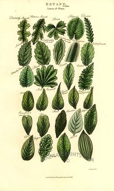 leaves of plants - Pantologia by John Mason Good from 1813  Beautiful, rare engravings with original hand coloring