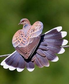 Beautiful Dove - Heart Shaped Wings