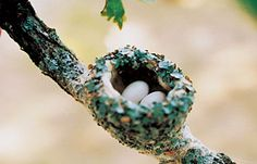 A Hummingbird's nest
