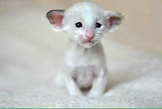 I'm note sure what to think about this... It's kinda cute now, but it's gonna be so ugly one day. Oriental kitten.