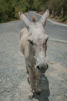 Donkey along the road on St John - ExplorationVacation.net