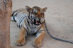<p>Following a series of dramatic events, Thailand's Department of National Parks (DNP) director- general, Nipon Chotiban, has ordered all tigers to be removed from the Tiger Temple by the end of April. </p>