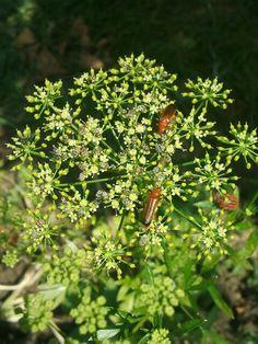 Fireflies on parsley