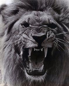 Lion Forearm Tattoos, Lion Head Tattoos, The Animals, Angry Animals, Majestic Animals, Animals Beautiful, Lion Tattoo Sleeves, Lion Sketch, Lion Photography