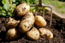 Potato Harvesting , how to harvest potatoes