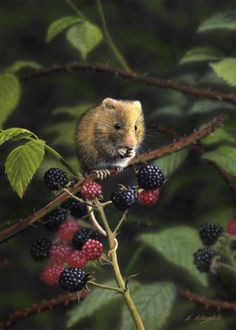 Mouse painting by artist Nigel Artingstall. British Wildlife, Wildlife Art, Mouse Paint, Harvest Mouse, Pet Mice, Limited Edition Prints, Pet Birds, Mammals, Animal Pictures