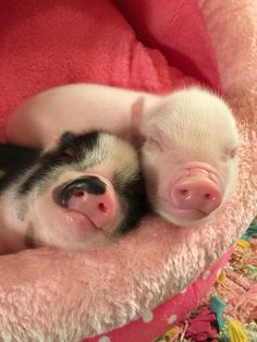 pig having piglets Cute Baby Pigs, Baby Piglets, Cute Piglets, Baby Animals Super Cute, Cute Little Animals, Cute Funny Animals, Baby Animals Pictures, Cute Animal Pictures, Animals And Pets