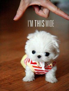 I REALLY want a puppy. teacup maltese <3