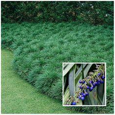 Lovers Giant Mondo (Ophiopogon Jaburan) is a shade loving plant.Giant Mondo (Ophiopogon Jaburan) is a shade loving plant. Shade Shrubs, Shade Grass, Shade Perennials, Shade Plants, Porch Garden, Garden Shrubs, Patio Plants, Shade Garden, Garden Plants