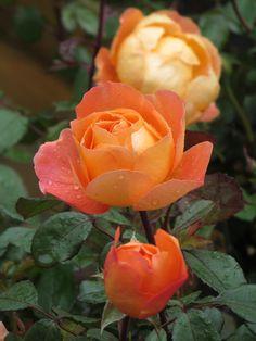 English Rose Austin 'Lady Emma Hamilton'