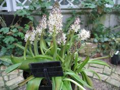 Lachenalia moniliformis  I, KENPEI  Scientific name Lachenalia moniliformis…