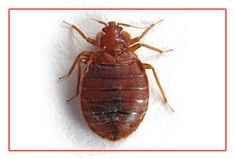 """""""Balaji herbal citi pest control in Pimpri offers herbal treatment in houses, industries and commercial region. Balaji herbal pest control has famous in Pimpri for Bedbugs management service Bedbugs generally entered into the house by luggage or other things infected by bedbugs. They occur in dark places like mattresses, pillow, mats, curtains, etc. Bedbugs are parasites that feed on blood and can cause extreme itching and nights without sleep."""