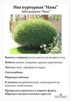 ива пурпурная нана: 2 тыс изображений найдено в Яндекс.Картинках