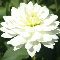 SNOWFLAKE (BBWL) Introduced in If there is an award for cutflower stems, this one would win! blooms of pure white are a much desire. Summer Plants, Summer Garden, White Dahlias, White Flowers, Unique Flowers, Beautiful Flowers, Dahlia Flower, White Gardens, Botanical Flowers