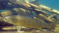 Huge Walleye Saginaw River Fishing Pictures, Walleye Fishing, Pets, Animals, River, Predator, Animales, Animaux, Animal