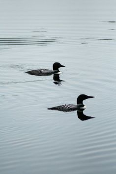 Loons on the French