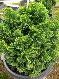Chamaecyparis obtusa 'Nana' Hinoki False Cypress from Willoway Nurseries Garden Shrubs, Garden Trees, Trees To Plant, Garden Pots, Colorado Landscaping, Front Yard Landscaping, Dwarf Trees For Landscaping, Privacy Landscaping, Evergreen Landscape