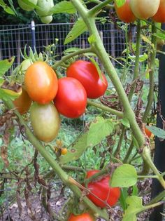 Amish Paste Tomatoes - The Best All-Purpose Tomatoes - Trellising tips - http://newlifeonahomestead.com